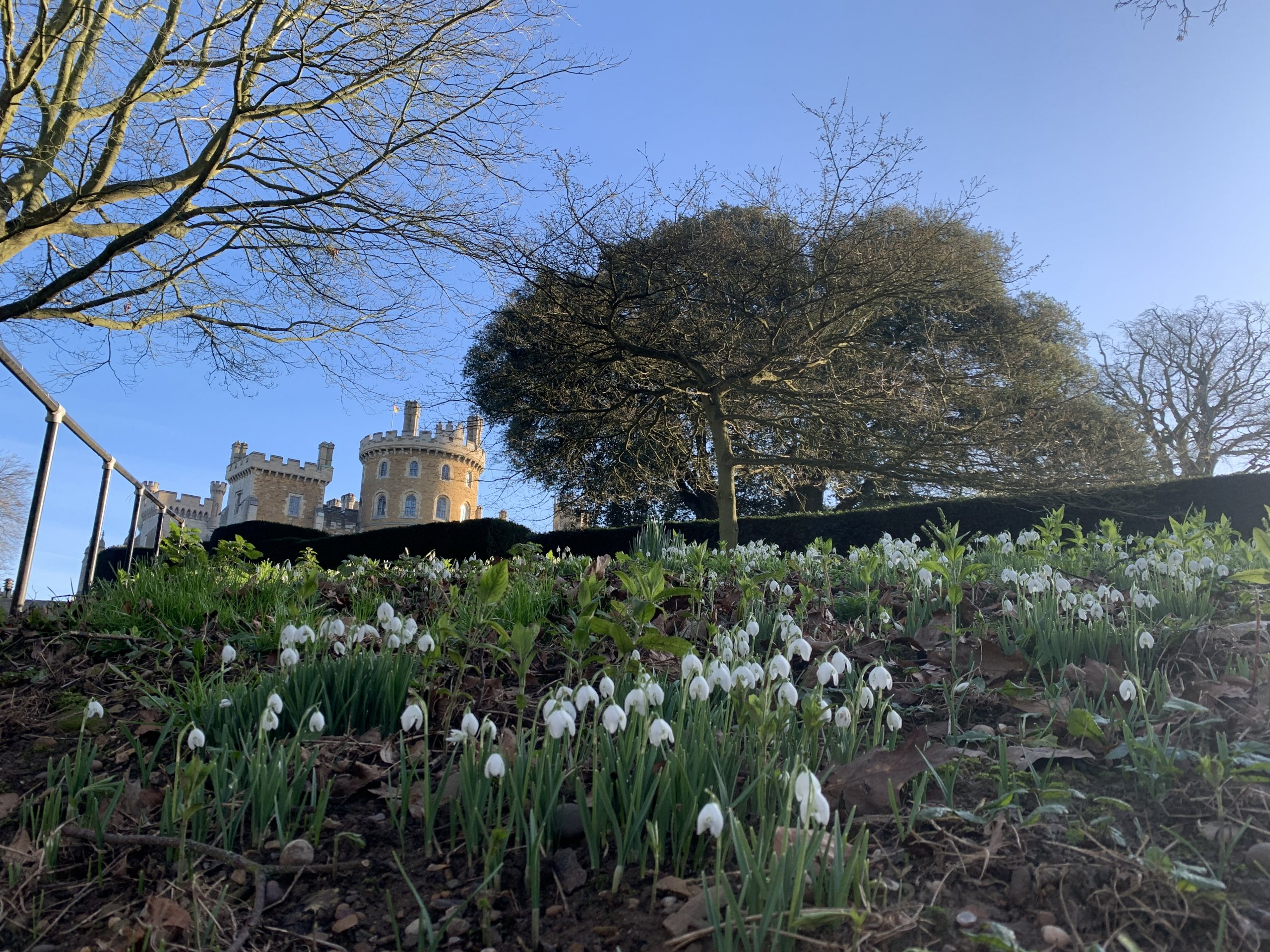 Snowdrops in front of Belvoir Castle
